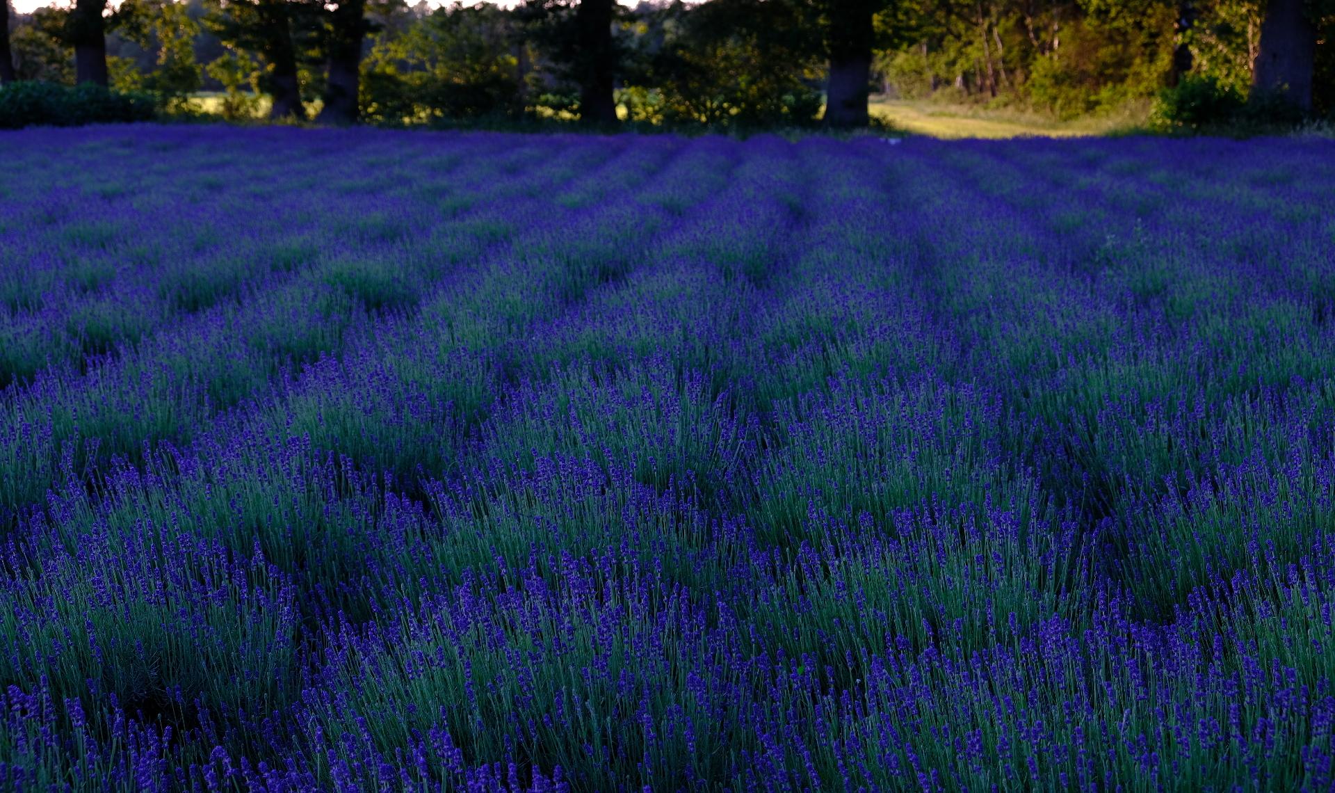 Banner Lavendelfeld