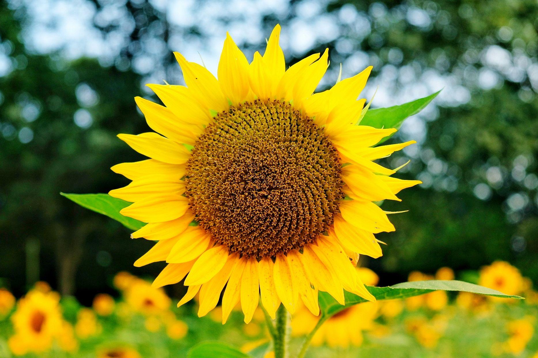 Banner Sonnenblume